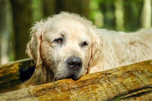 golden-retriever-2705639__340