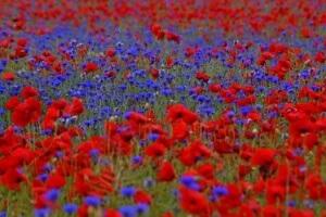 poppies-cornflowers-field-blue-red-meadow