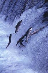 Salmon_jumping