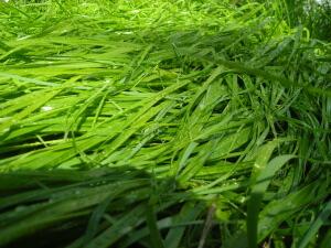 Sweet_Grass