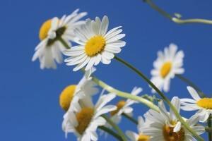 daisies-388946__340